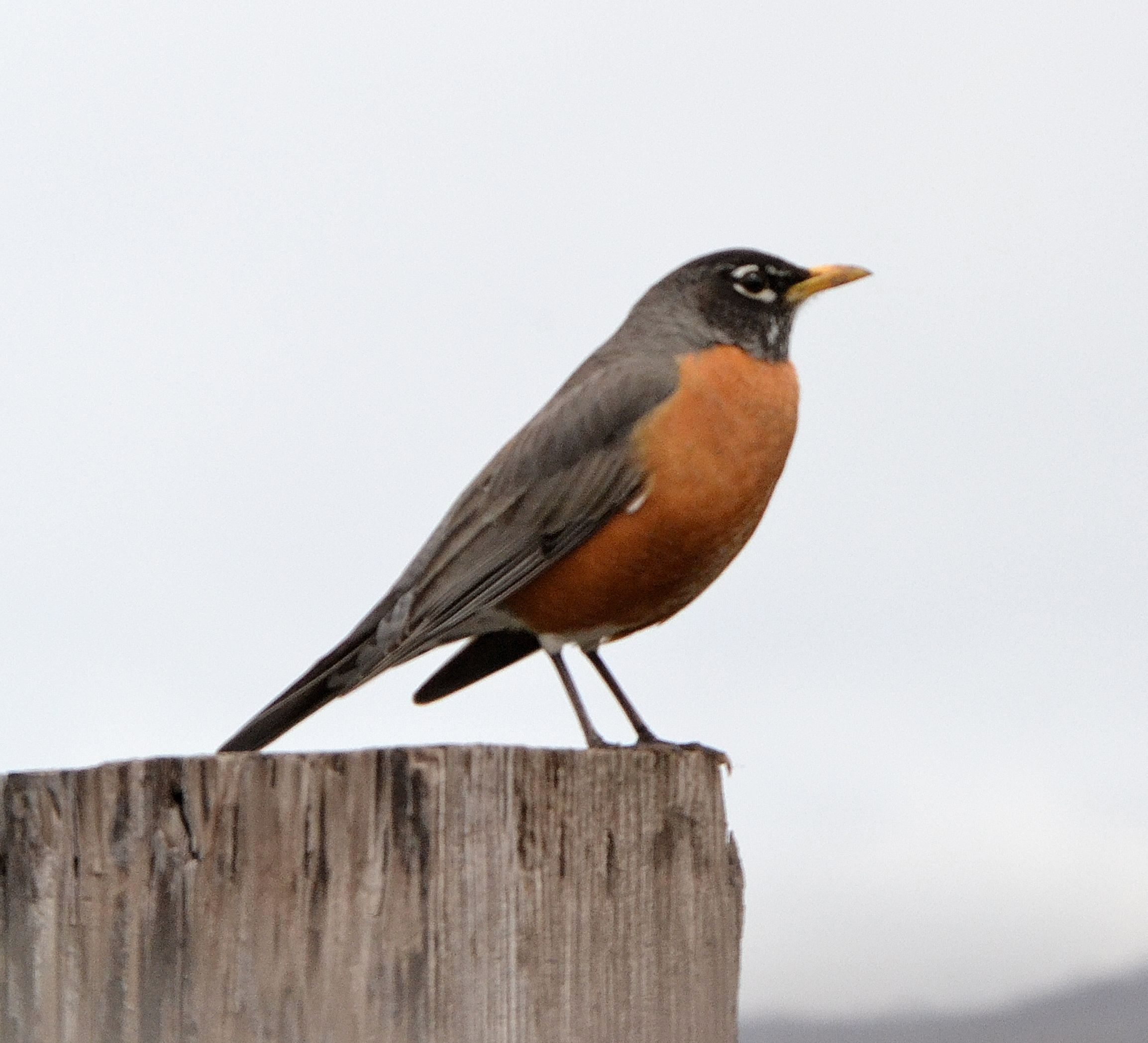 American Robin on Parts Of An Earthworm
