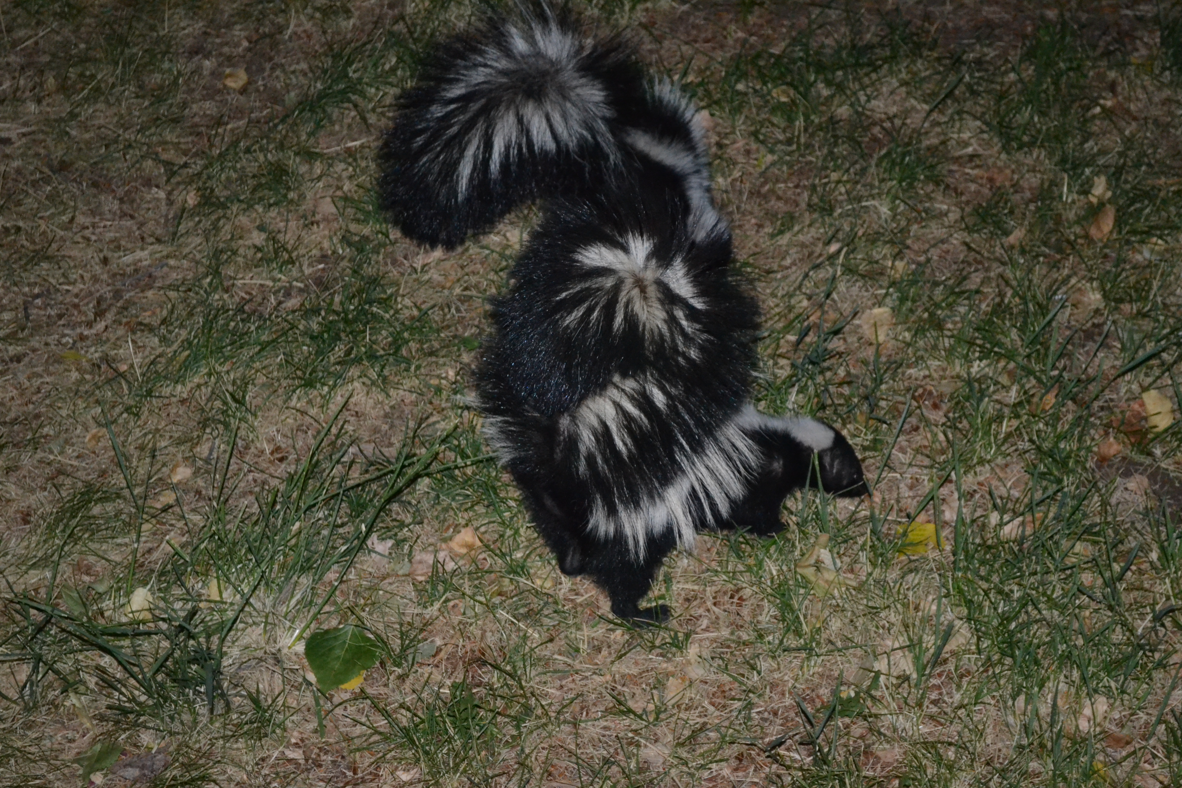 young striped skunks