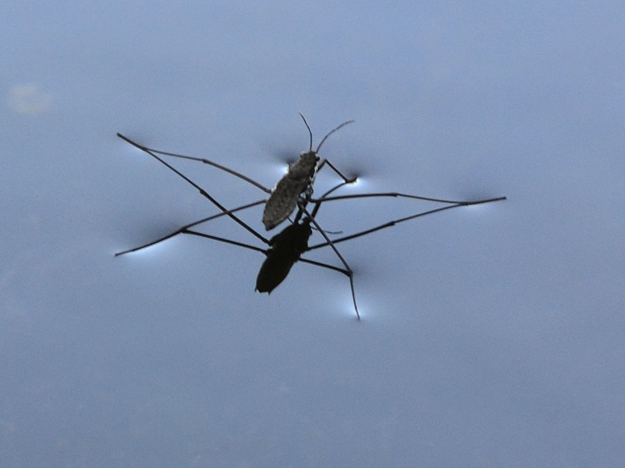 Water Strider Habitat Common Water Strider | The