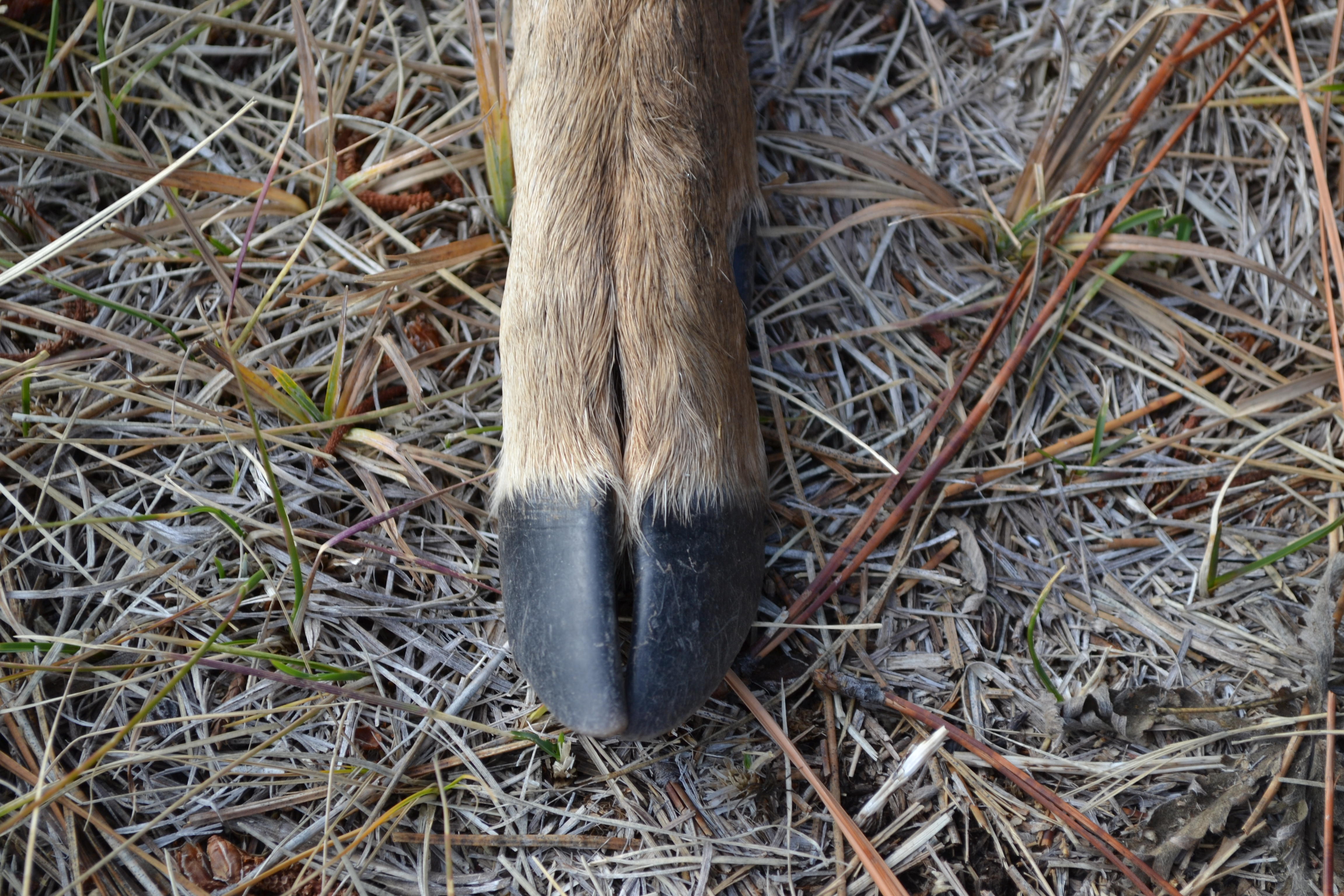 deer hooves - photo #3