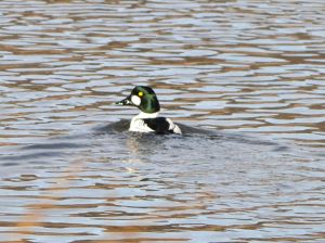 Common Goldeneye Male