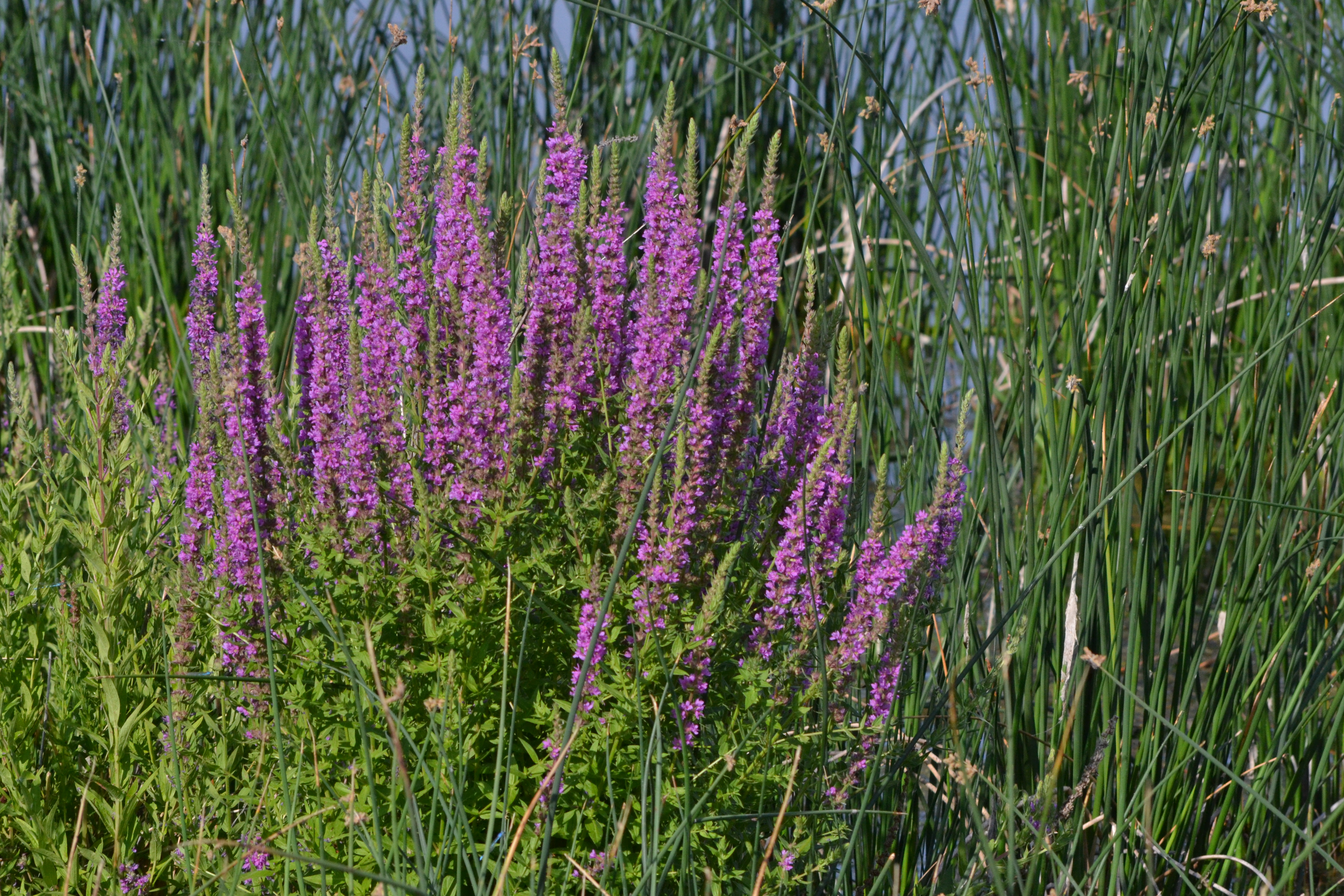 the habitat of purple loosestrife a troublesome plant Purple loosestrife is a native of europe and asia that was first introduced into the us in the 1800s for its ornamental and medicinal value the plant adapts well to a wide variety of wetland conditions food or nesting habitat.