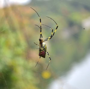 Female Joro Spider
