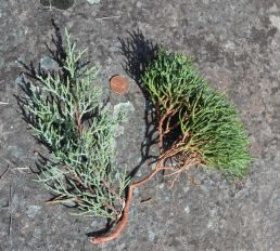 Juniper Witches' Brooms