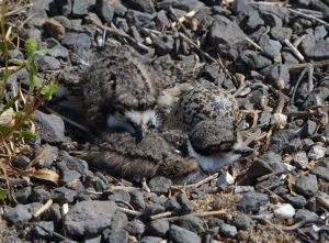 Two Killdeer Chicks