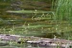 Narrow Leaf Bur-reed