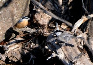 Nuthatch and Chickadee
