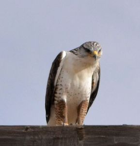Light-morph Ferruginous Hawk