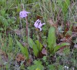Henderson's Fawn Lily